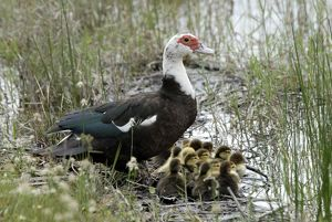 Muscovy Duck with recently hatched ducklings sheltering beside water.