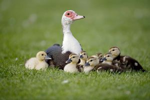 Muscovy Duck with Young