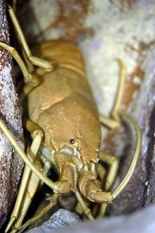 Musical furry lobster (Palibythus magnificus),