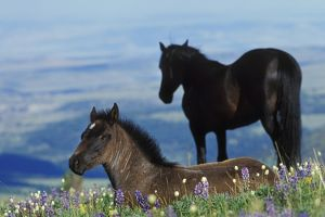 Mustang Wild Horse - Colt in foreground (herd stallion in background) in field of
