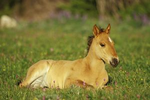 Mustang Wild Horse - Colt rests among wildflowers (shootingstars or birdbills)