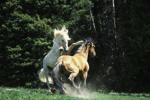 Mustang Wild Horse - Herd stallions meet along backroad in display of dominance behavior