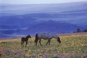 Mustang Wild Horse - Mare with young colt feed among field of wildflowers, Summer