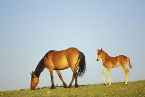 Mustang Wild Horse - Mare with young colt in field of wildflowers