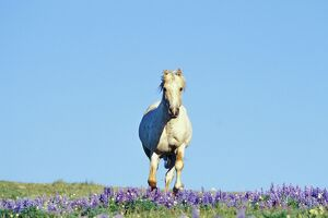 Mustang Wild Horse - Stallion (named Cloud) gallups through wildflowers (mostly lupin)