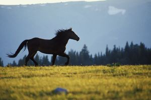 Mustang Wild Horse - Stallion running across high mountain meadow
