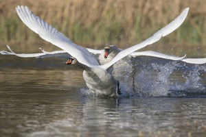 Mute Swan - adult swan attacking a young swan - Germany