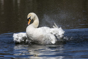 Mute Swan - Bathing - Cornwall - UK