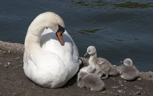 Mute Swan female with cygnets beside pond