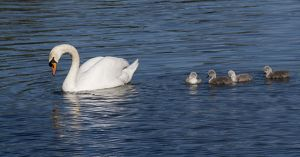 Mute Swan female with cygnets urban pond