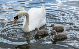 Mute Swan female feeding cygnets