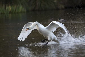 Mute Swan - Flapping over Water - Cornwall - UK