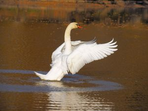 Mute Swan flapping wings on lake