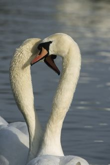Mute Swan - Two together in a heart shape
