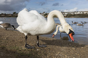 Mute Swan - Par - Cornwall - UK