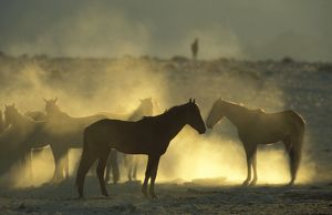 Namib Desert Horse - Feral descendants of horses which probably were left behind