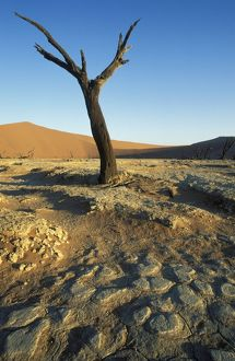 Namibia - Dead camelthorn tree (Acacia erioloba) in the so-called 'Dead Vlei&#39