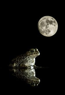 Natterjack toad - in a pond with its reflection