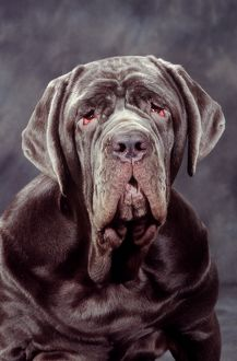 Neapolitan Mastiff DOG - close-up of head
