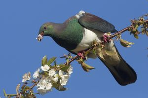 New Zealand Pigeon / Kereru