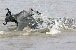 Nile Crocodile - attacking wildebeest in Mara River