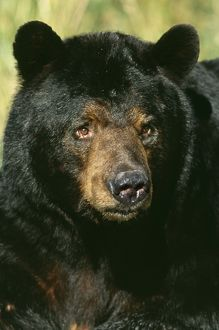 North American Black BEAR - Adult male, close-up