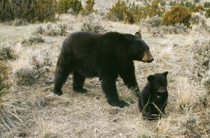 North American Black BEAR - parent with cub