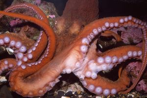 North Pacific Giant OCTOPUS - showing suckers