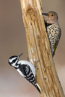 Northern Flicker - with female Hairy Woodpecker