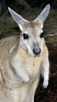 Northern Nail-tailed Wallaby