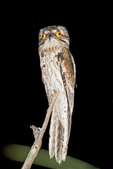 Northern Potoo.
