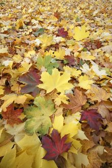 Norway Maple - autumn coloured leaves on ground in park