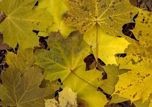 Norway Maple leaves in autumn colour.
