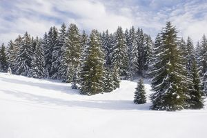 Norway Spruce forest in winter snow