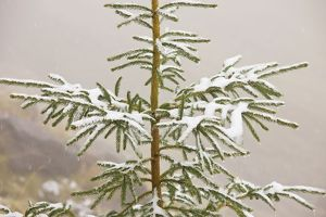 Norway Spruce tree covered with light snow and frost, high in the Fagaras Mountains