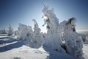 Norway Spruce - trees covered in snow and ice
