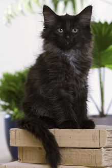 Norwegian Forest Cat - black