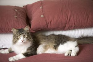 Norwegian Forest Cat - in house lying on owners bed
