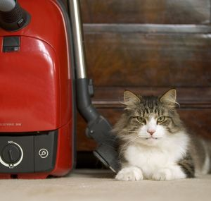 Norwegian Forest Cat - in house lying by vacuum cleaner