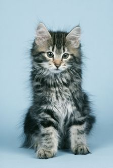 NORWEGIAN FOREST CAT - KITTEN