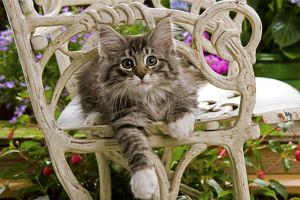 Norwegian Forest Cat - kitten sitting on chair with flowers