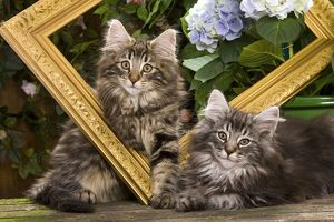 Norwegian Forest Cat - two kittens with picture frame & flowers