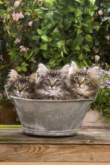 Norwegian Forest Cat - three kittens in tin pail