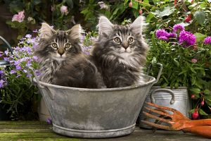 Norwegian Forest Cat - two kittens in tin pail
