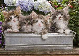 Norwegian Forest Cat - four kittens in tin windowbox