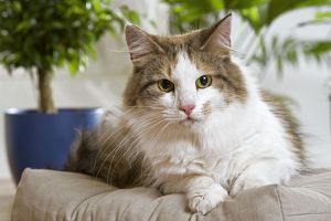 Norwegian Forest Cat lying on cushion