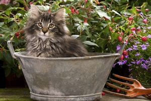 Norwegian Forest Cat - in metal planter with flowers