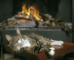 Norwegian Forest Cat - resting infront of open fire