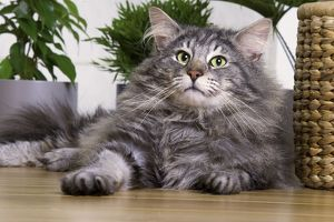 Norwegian Forest Cat - Silver Tabby Mackerel & White