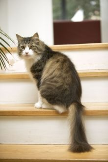 Norwegian Forest Cat - sitting on stairs